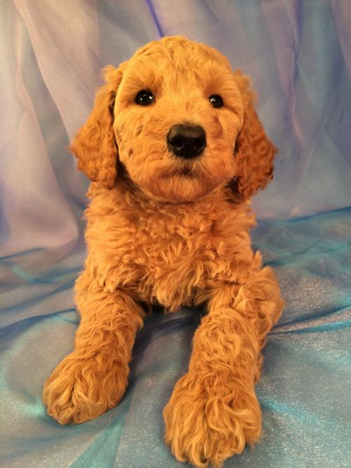Professional Standard Poodle Breeders With Pups Available
