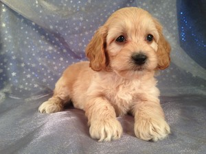 Female cockapoo Puppy for sale Born 2-18-13| Ready 4-15-13|Iowa, Minnesota, Wisconsin, and Illinois cockapoo Breeders are welcome here!