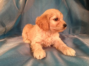 Male Cockapoo Pup for sale #14 Born February 18th 2013|Looking For Cockapoos for sale in Minnesota, Iowa, Wisconsin and Illinois? You can trust Purebredpups!