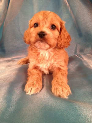 Female Cockapoo Pup for sale in Iowa #16|Ready April 2013|E-Z direct shipping to Florida and Many other States for only $150