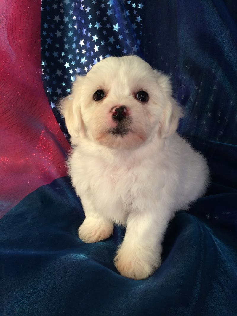 Mostly white with a little apricot teddy bear puppy for sale