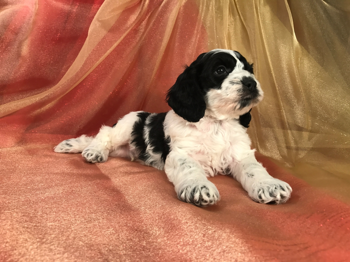 available Puppies, cockapoos