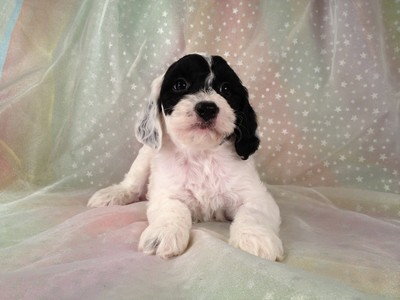 Male Black and White Cockapoo puppies for sale #12 2