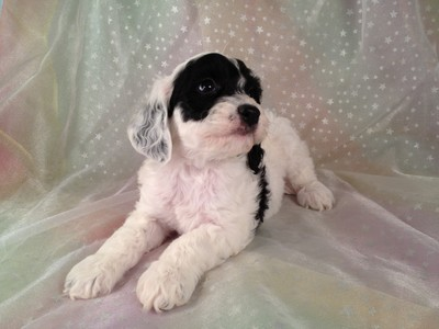 Male Black and White Cockapoo puppies for sale #12 3