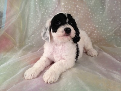 Male Black and White Cockapoo puppies for sale #12