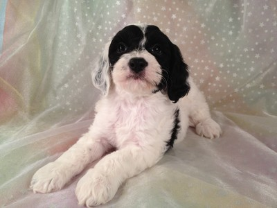 Male Black and White Cockapoo puppies for sale #12 4
