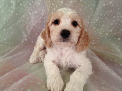 Male White and Buff Cockapoo Puppy for sale #14 Born September 15th 2012