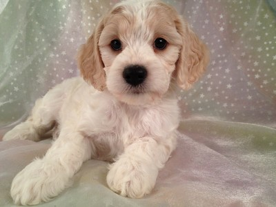 Female Blond and White cockapoo puppy for sale #13 5