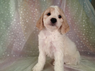 Female Blond and White cockapoo puppy for sale #13 4