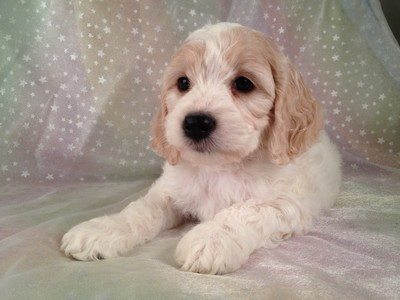 Female Blond and White cockapoo puppy for sale #13