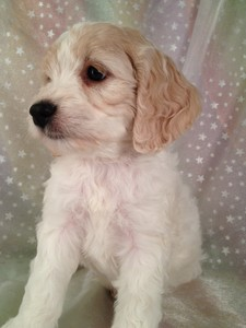Female Blond and White cockapoo puppy for sale #13 2