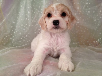 Female Cockapoo Puppy for sale #15 Ready November 13, 2012