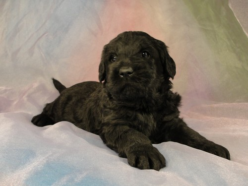 Male Giant Schnoodle Puppy for Sale In Iowa Ready May, 2012 GS#1