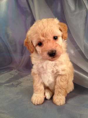 Female Bichon Poodle Puppy for sale #2 Born Feb.5th 2013|Iowa Puppies for sale will Be ready April 3rd 2013|Iowa Breeder|Bichon poo