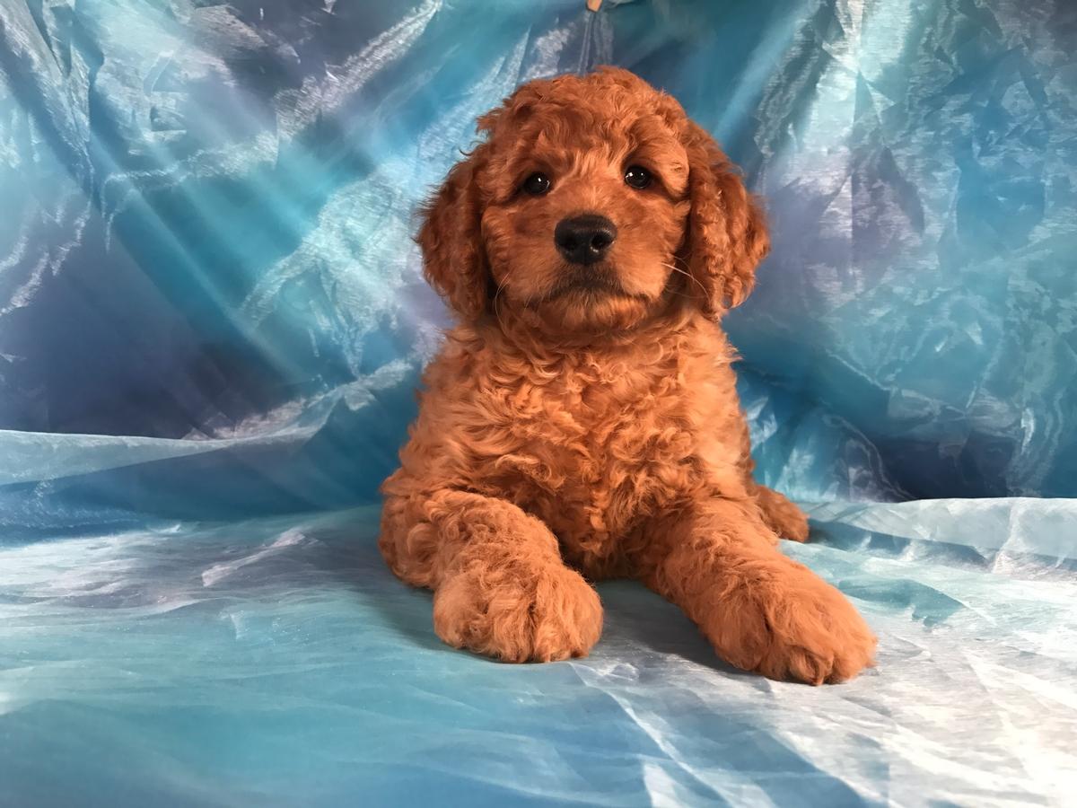 Male Miniature Goldendoodle Puppy for Sale DOB 8-6-2018