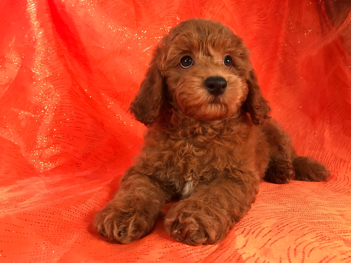 Dark red male cockapoo Pup for sale