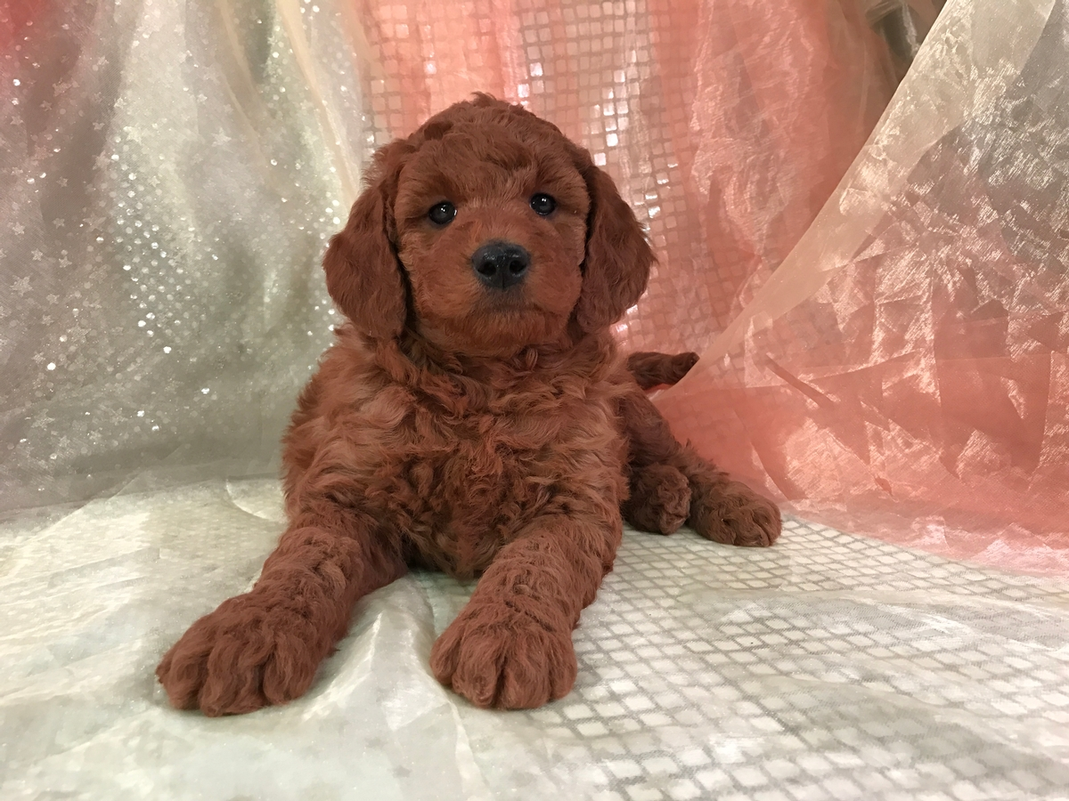 Very dark red Mini Goldendoodle puppy