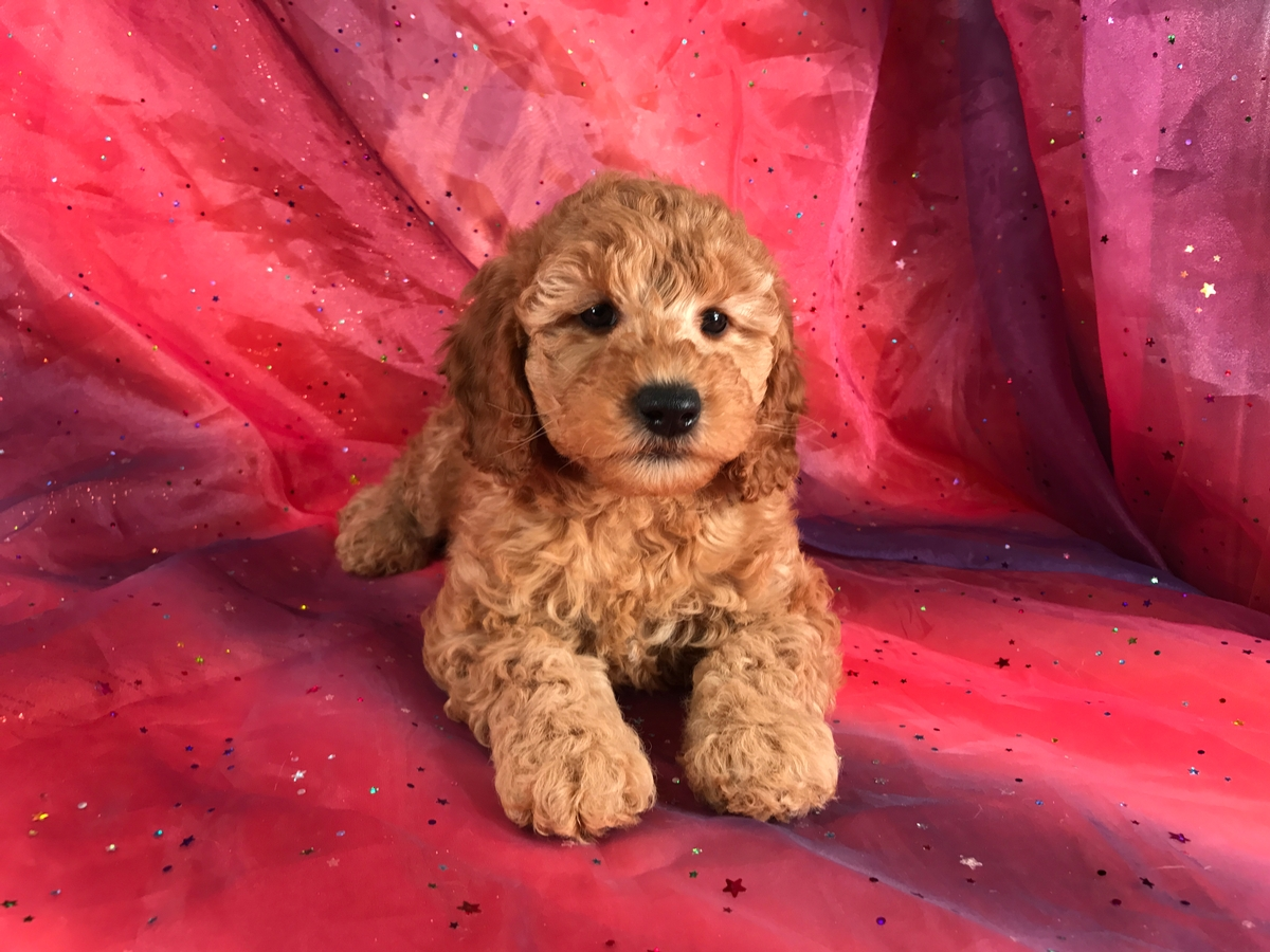Female,Miniature Goldendoodles for sale, Puppies