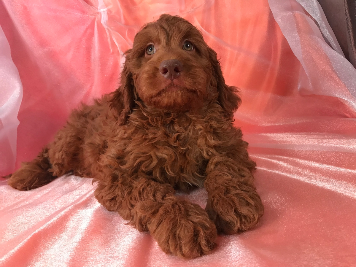 Miniature Goldendoodle Breeders, Green eyes
