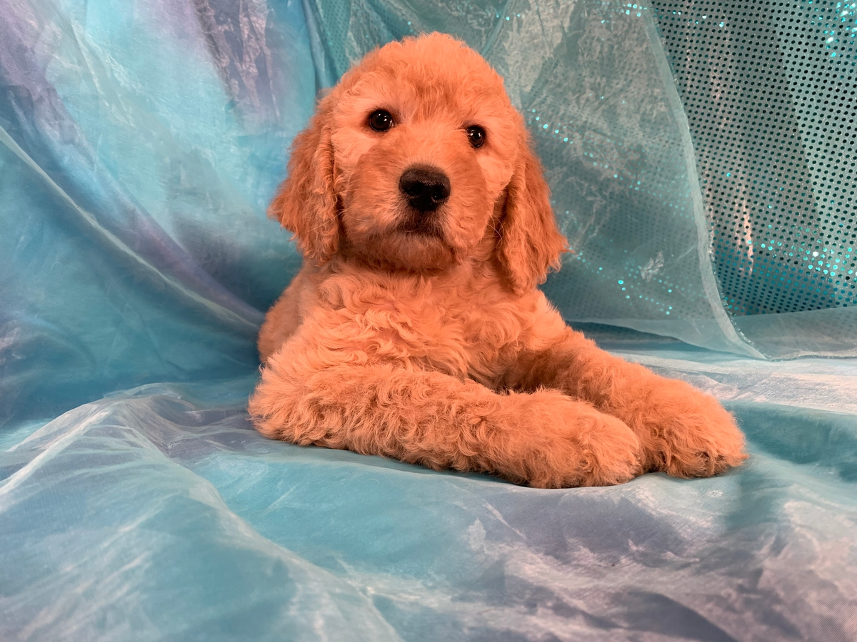Male Apricot Labradoodle Puppy for Sale in Iowa DOB 11-2-2019, $975
