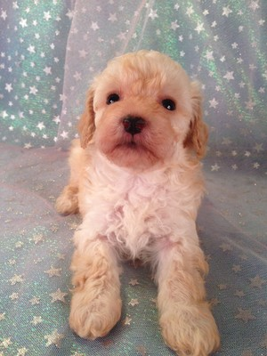 Bichon Poodle Mix Puppies for Sale