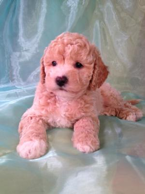 Iowa's top dog breeder is ready for show and tell with yet another perfect litter of Poochons. Did you know that you can buy Bichon Poodle Puppies from Iowa's best dog breeder for only $675?
