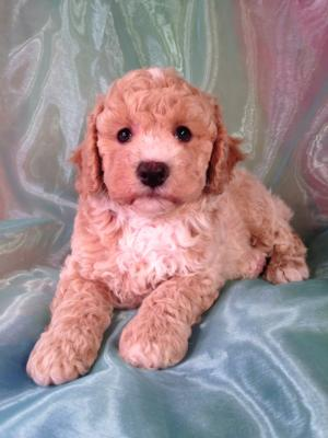 Bichon poo breeders in Iowa with Poochon, Bichon Poodle, Bich-poo, and Mixed breed Puppies for Sale
