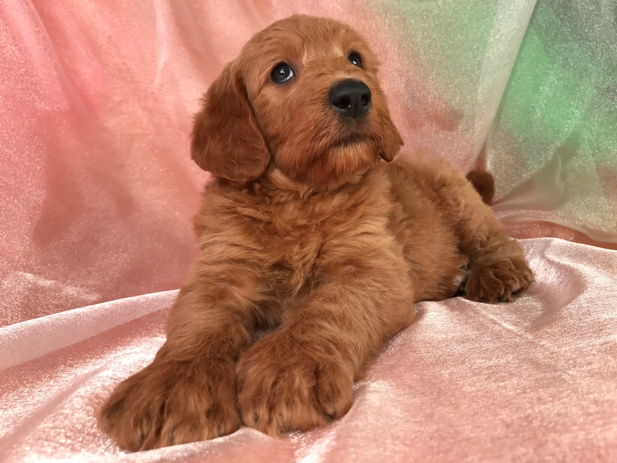 F1b labradoodle Breeders in Iowa