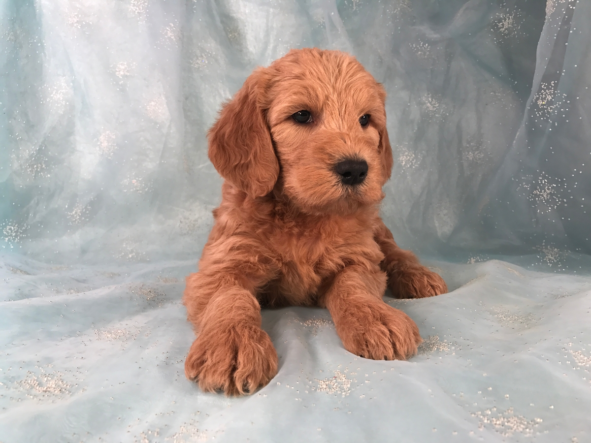 pup red male Labradoodle