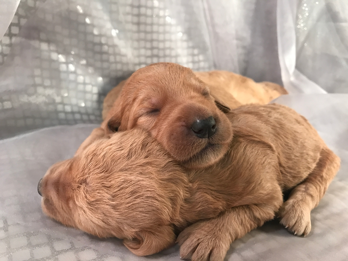 Yellow to red colored Standard Labradoodle puppies for sale in Iowa