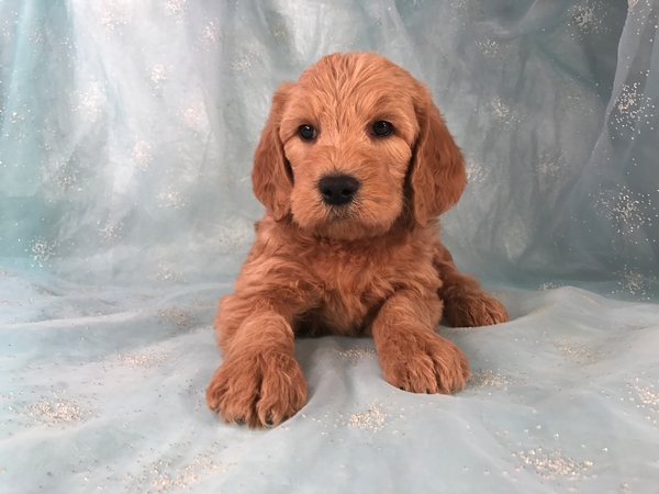 Male Labradoodle Puppies for sale