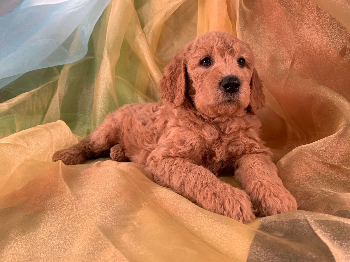 Red Male F1b Labradoodles for Sale in Northern Iowa $975