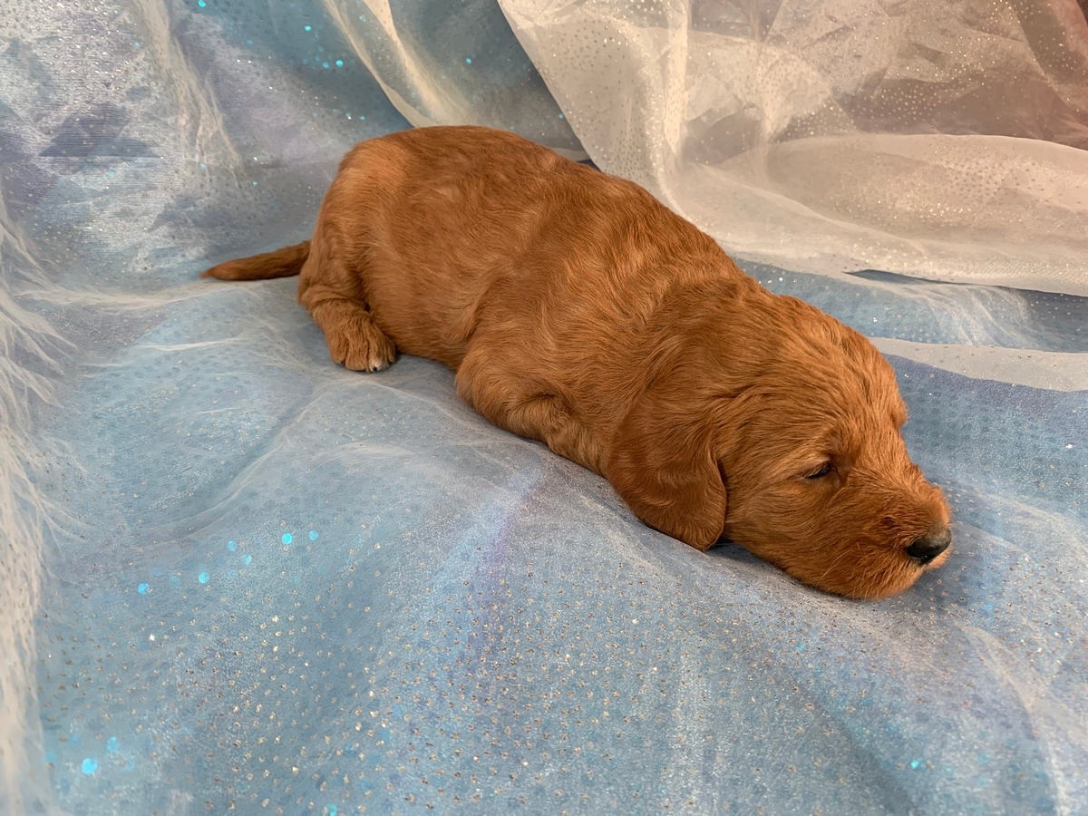 Red Labradoodle Puppy for Sale, Iowa Breeders, Female DOB 11-2-2019 $975