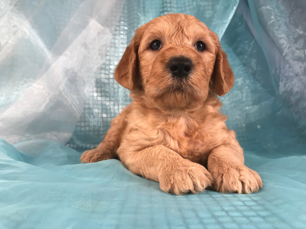 Labradoodles for sale
