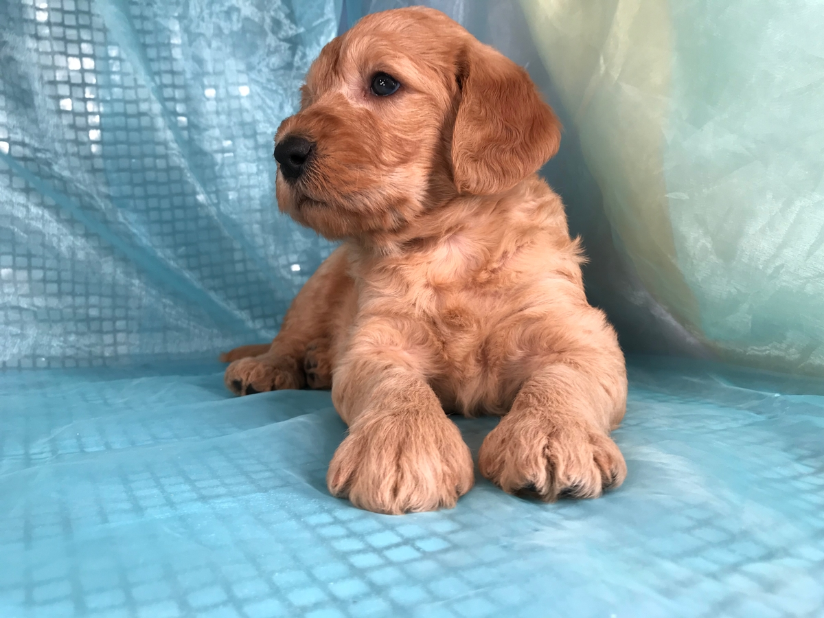 Iowa's Dark Red Labradoodle Puppy breeder