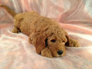 Dark Red Female F1b Labradoodle Puppy for Sale.  $750  5