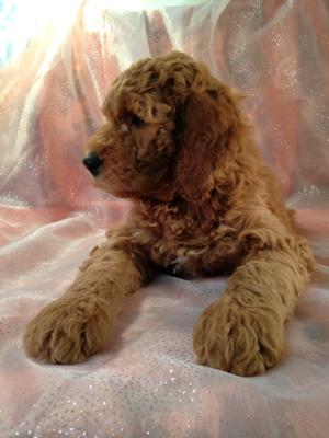 Dark Red Female F1b Labradoodle Puppy for Sale.  $750  4