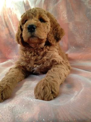 Dark Red Female F1b Labradoodle Puppy for Sale.  $750
