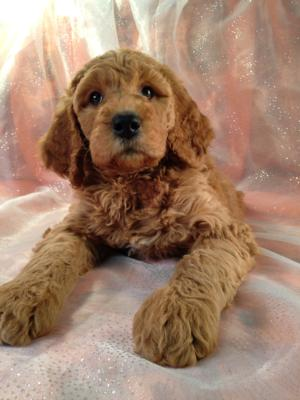 Dark Red Female F1b Labradoodle Puppy for Sale.  $750  3