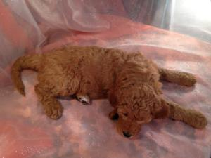 Dark Red Female F1b Labradoodle Puppy for Sale.  $750  2