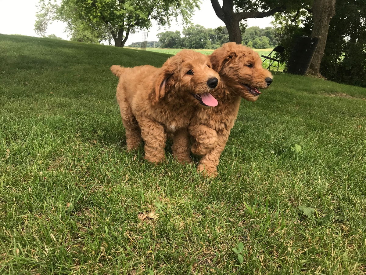 F1b Standard Labradoodles Located in North Iowa