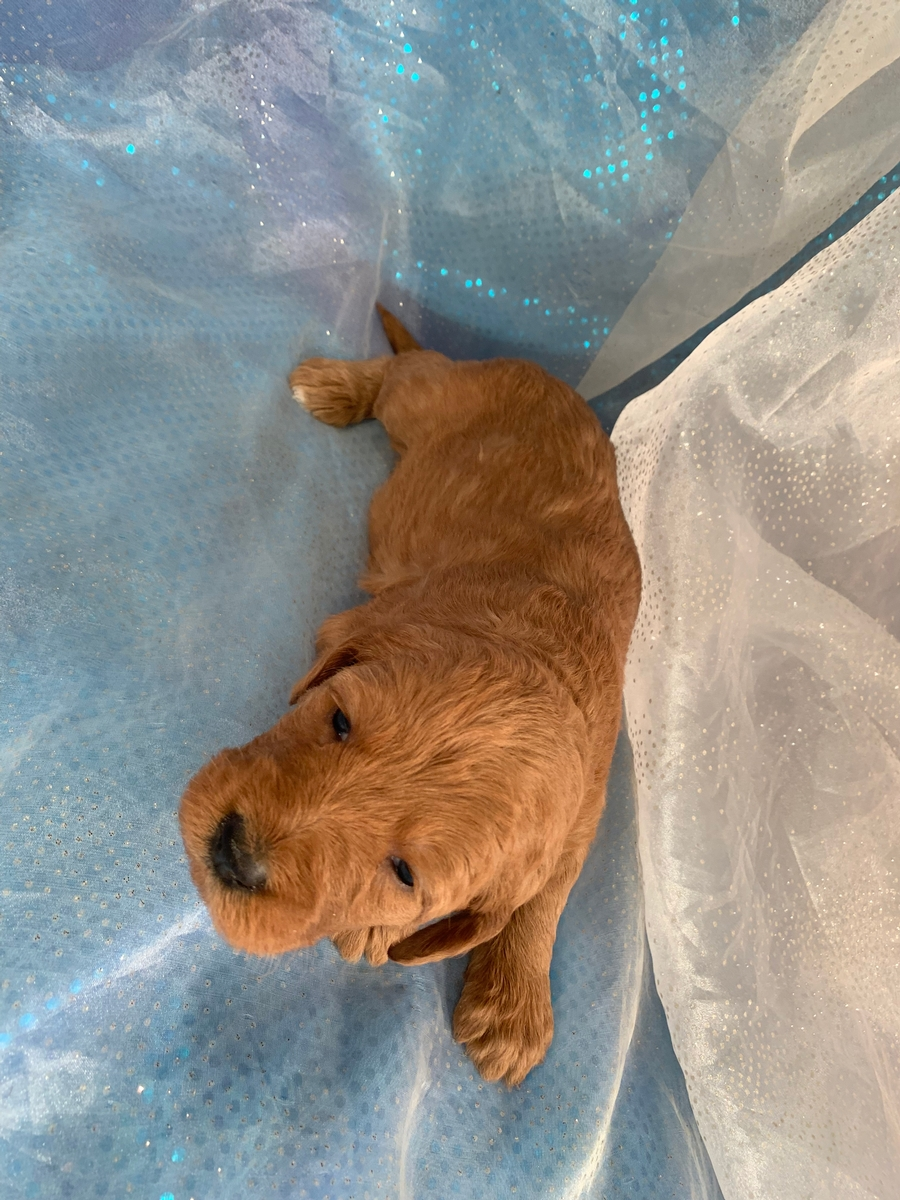 Labradoodle Puppies for Sale in Iowa