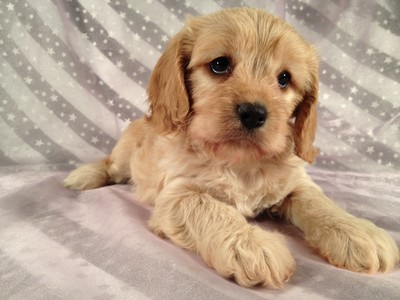 Female Cavachon puppy for sale Ready October 8th 2012