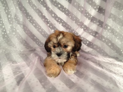 Private Breeder- Lhasa Bichon Puppies for sale- shipping 150