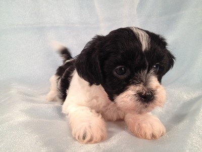 Teddy Bear Puppies Black And White Click picture to enlarge click