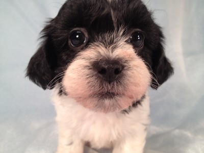 Black and White Teddy Bear Puppies for Sale by an Iowa Breeder