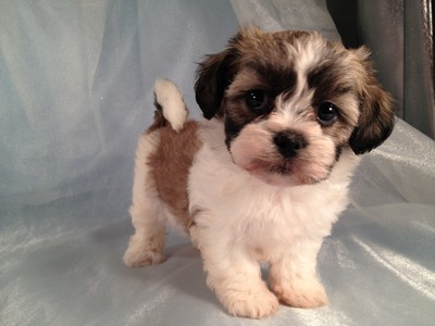 Sable and White Female Shih tzu Bichon puppies for sale|shipping $150