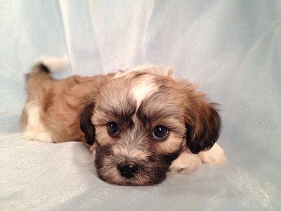 Male Shih Tzu Bichon Pup for sale Along the Iowa Minnesota Border September 2012