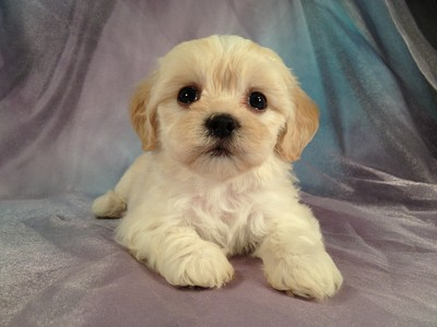 Female Lhasa Bichon Puppy for sale Along the Iowa Minnesota Border 2012