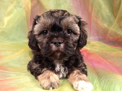 Puppies for sale Iowa Breeder Shipping available $150 Lhasa Bichons